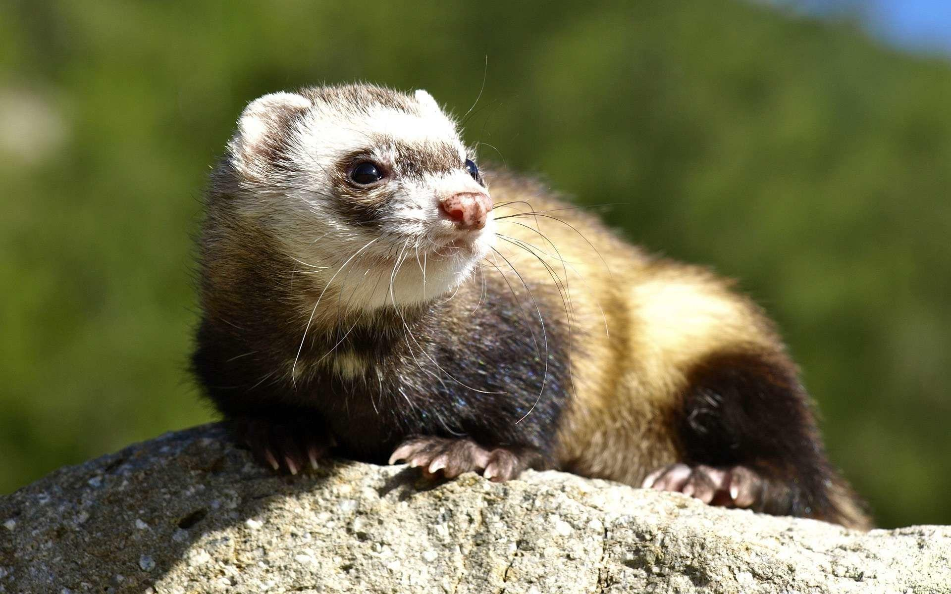 ferret face wallpaper background - photo #18