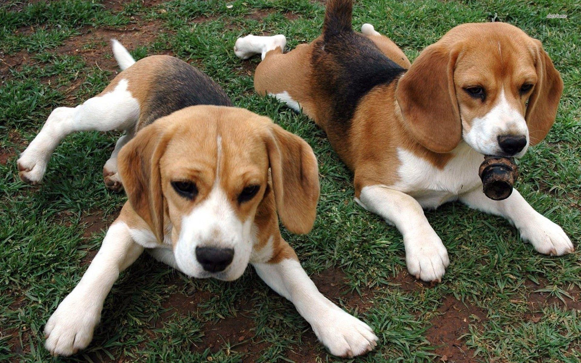 Cute beagle puppies wallpaper