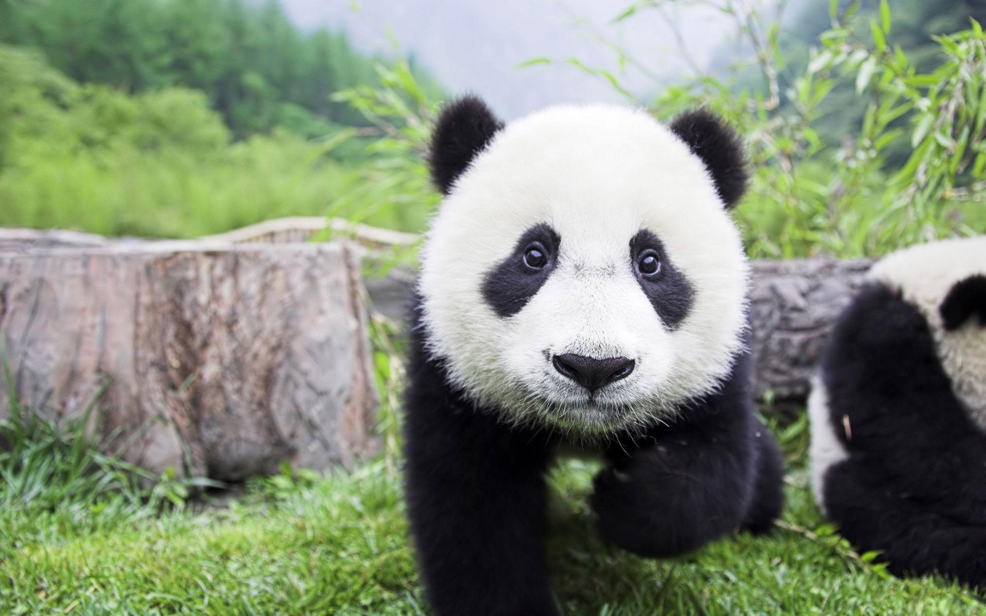 Panda Wallpapers - Full HD wallpaper search