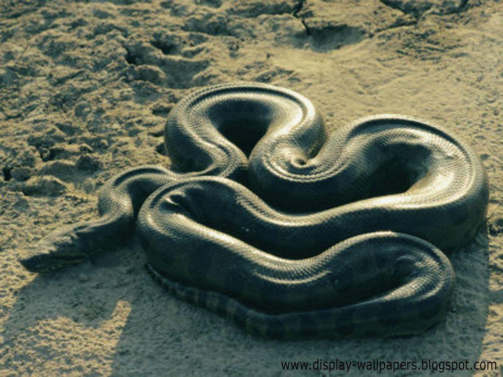 Black Mamba Snake Wallpapers THIS Wallpaper