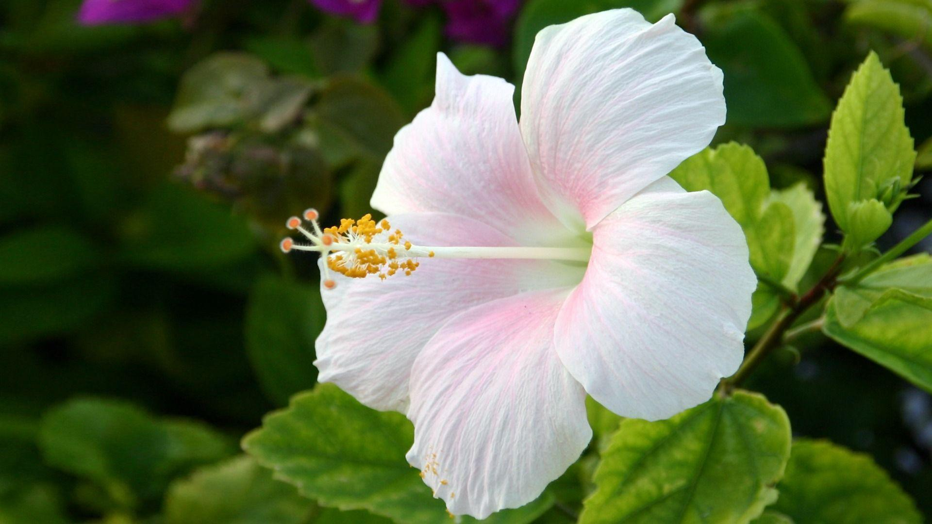 Hibiscus flower wallpapers wallpaper cave hibiscus flower izmirmasajfo