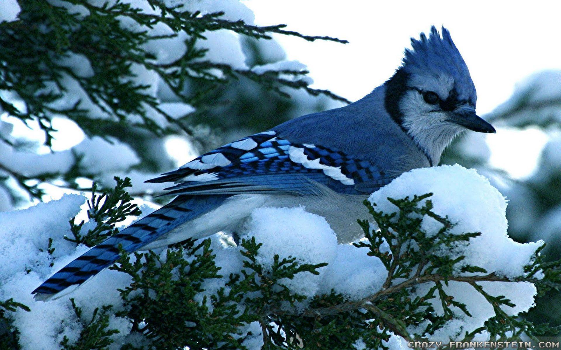 Blue Jay Screensaver 88