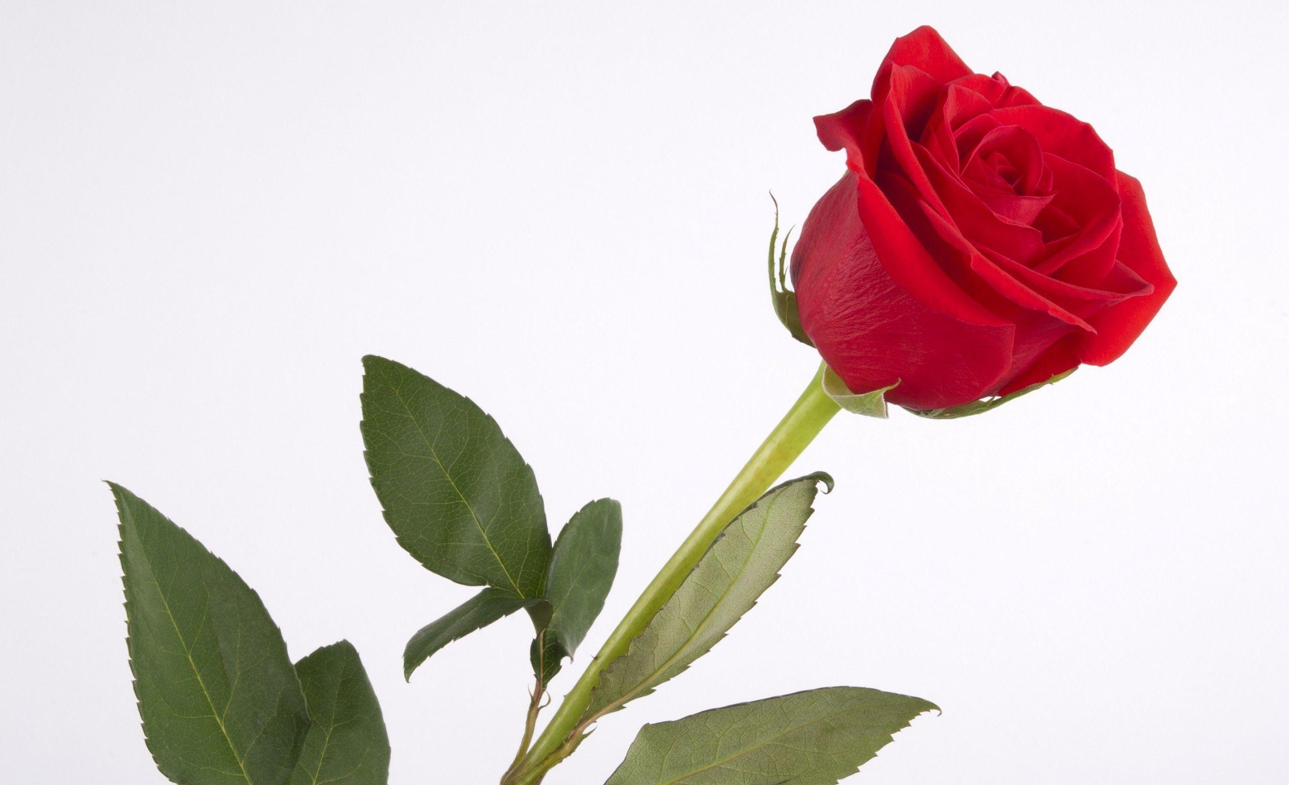 Hd wallpaper red rose - Images For Single Red Rose Hd Wallpaper