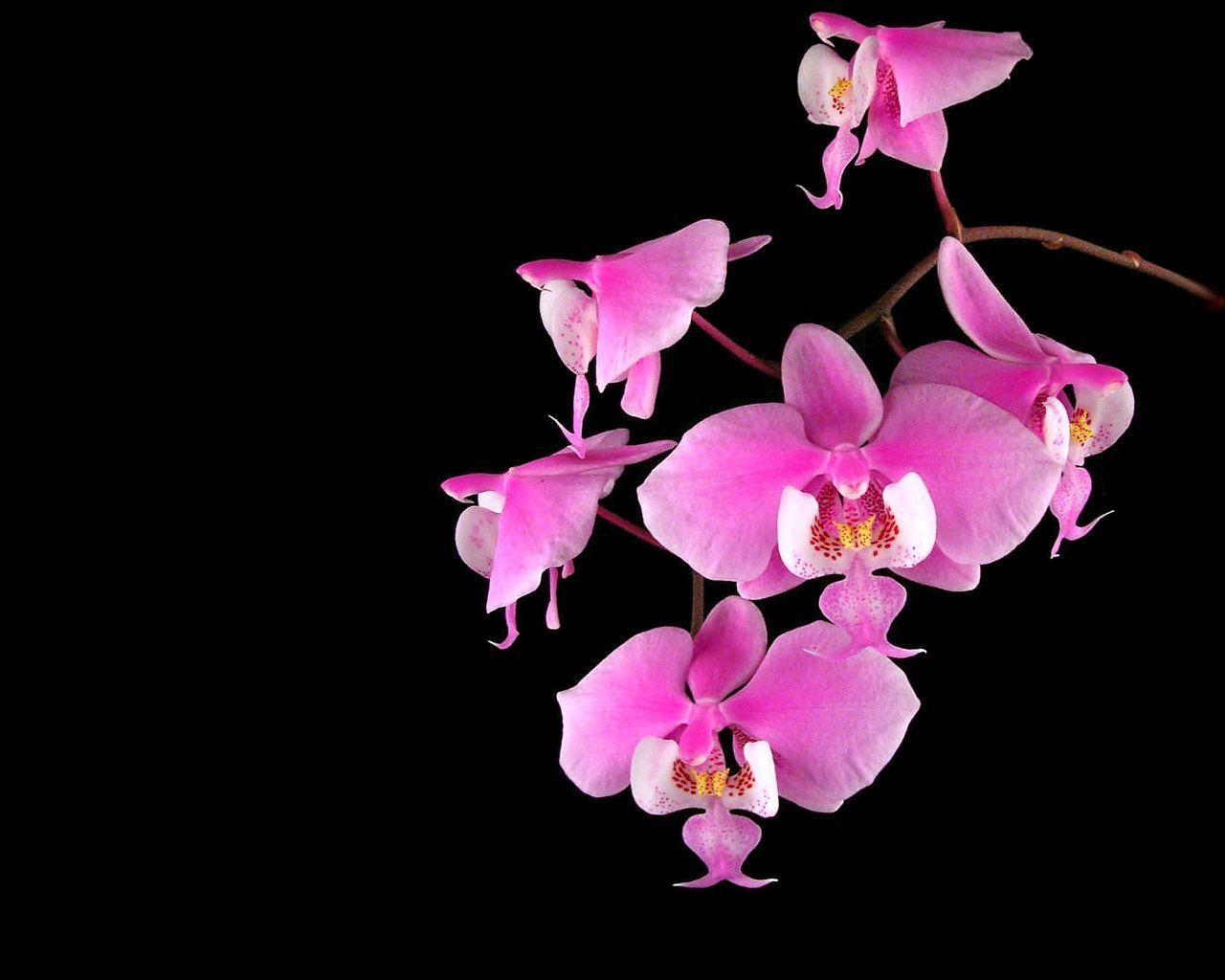 Wallpapers For Black And Pink Flower Wallpaper