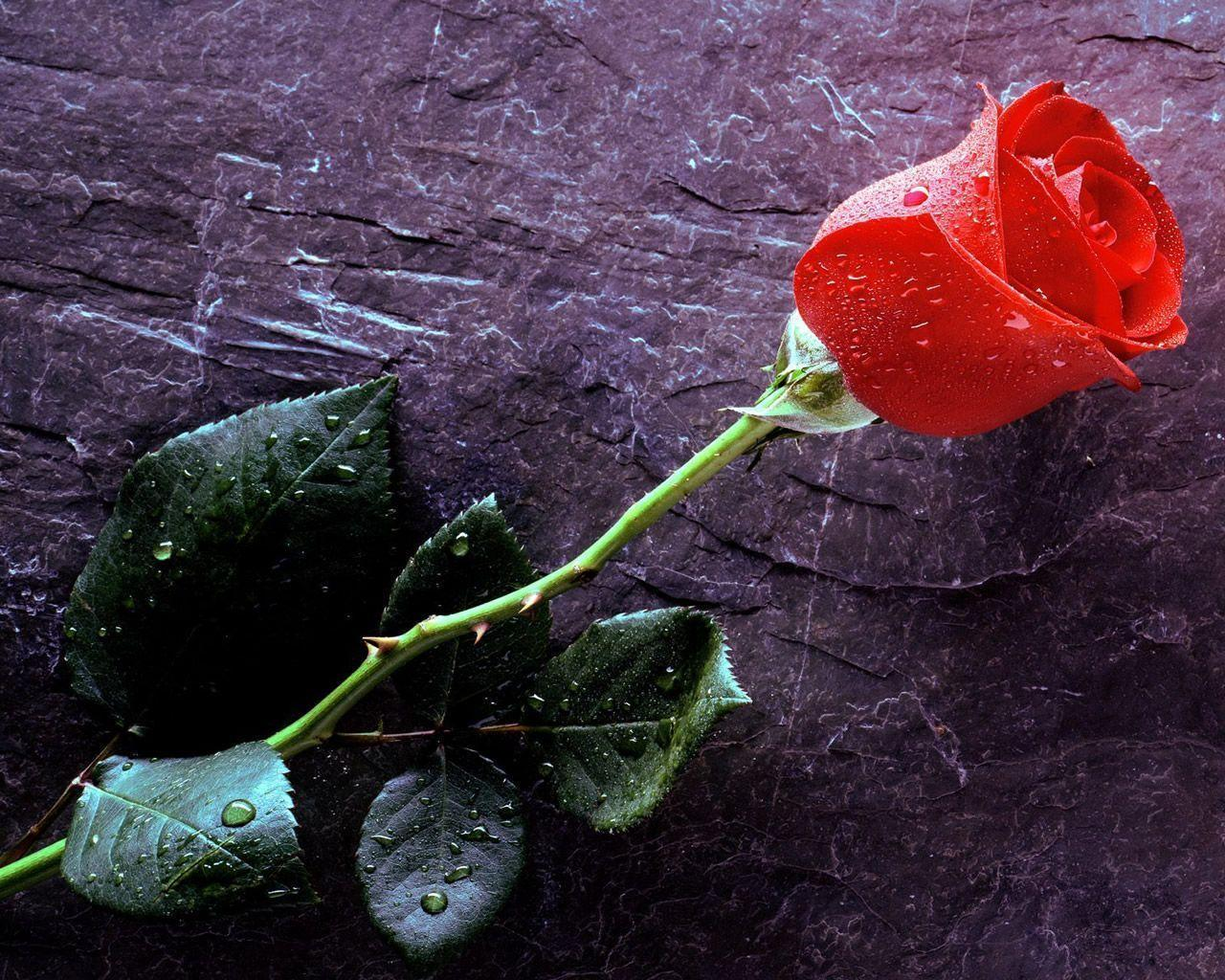 wallpapers rose flower wallpaper cave