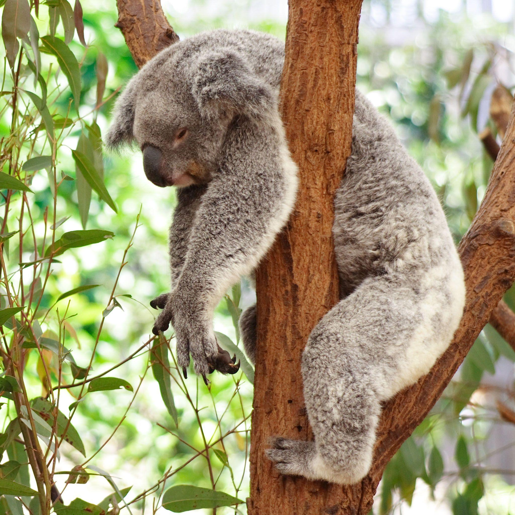 koala bears Latin name: phascolarctos cinereus (greek: phaskolos means pouch arktos means bear latin: cinereus means ash-colored) koalas are marsupials, females having a pouch in which their young first develop.