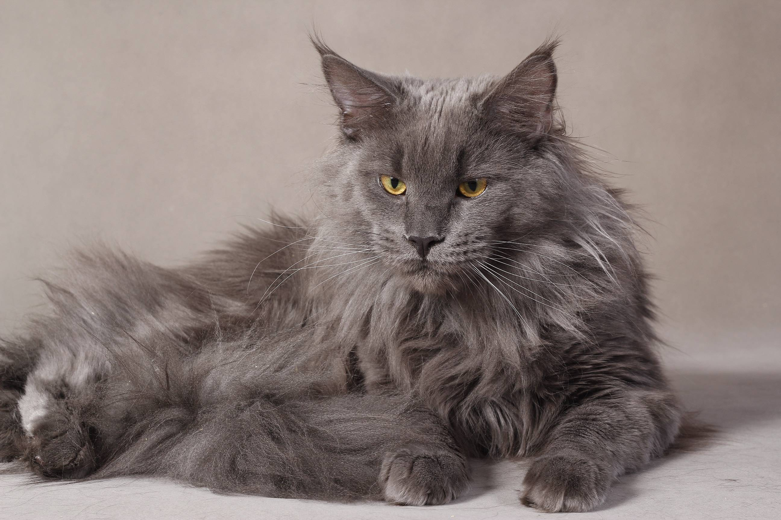 Dark Grey Maine Coon Kittens Maine Coon Wallpapers ...