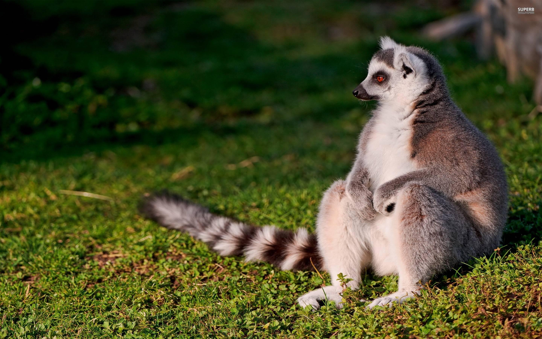 ring tailed lemur wallpaper wwwpixsharkcom images
