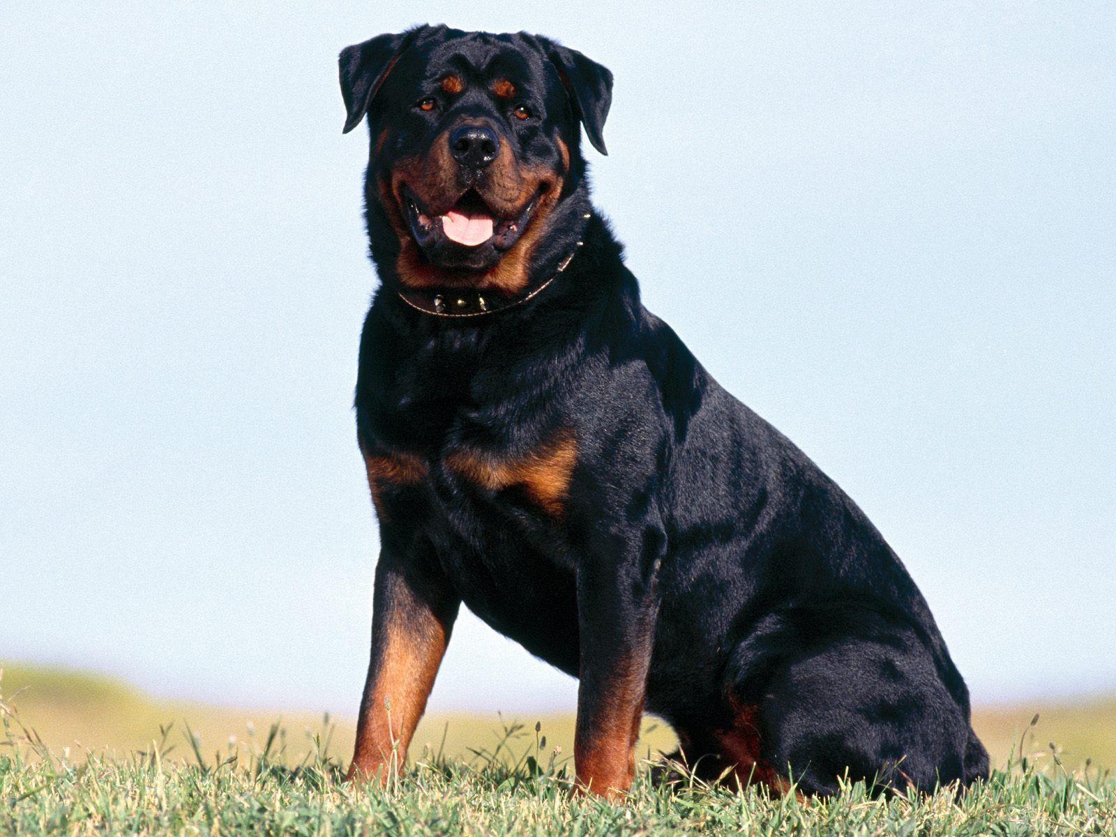 Rottweiler Dog - IMASHON.COM