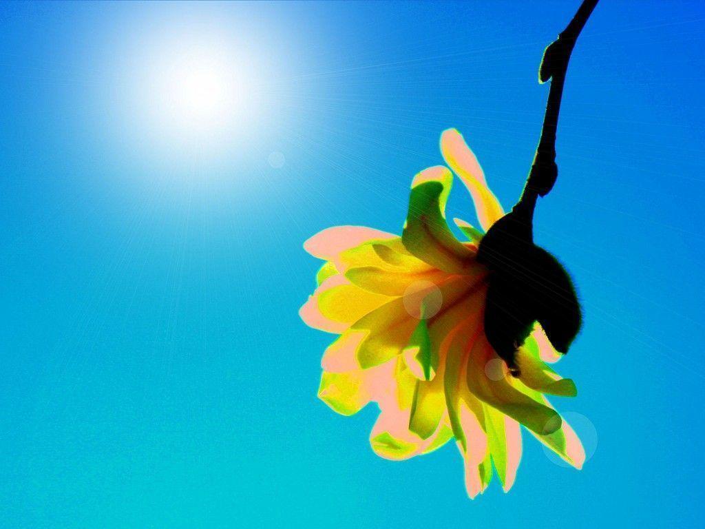 Single Yellow Flower Desktop Wallpaper Preview | wallcaper.