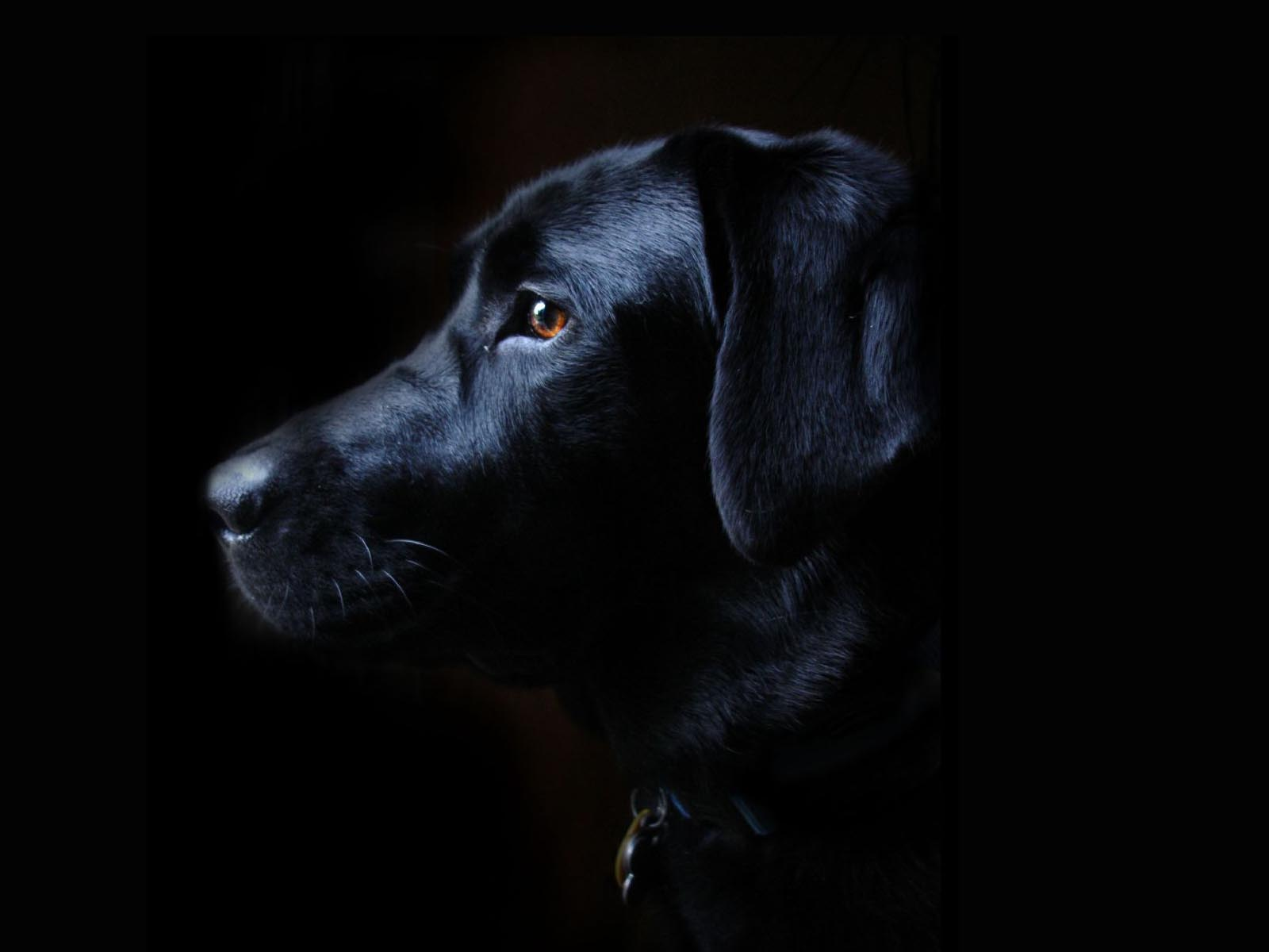 Image - Labrador-retriever-black-dog-free-wallpaper-1600x1200.jpg ...