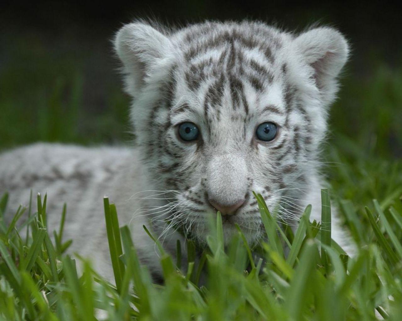 White tiger background tumblr - photo#16