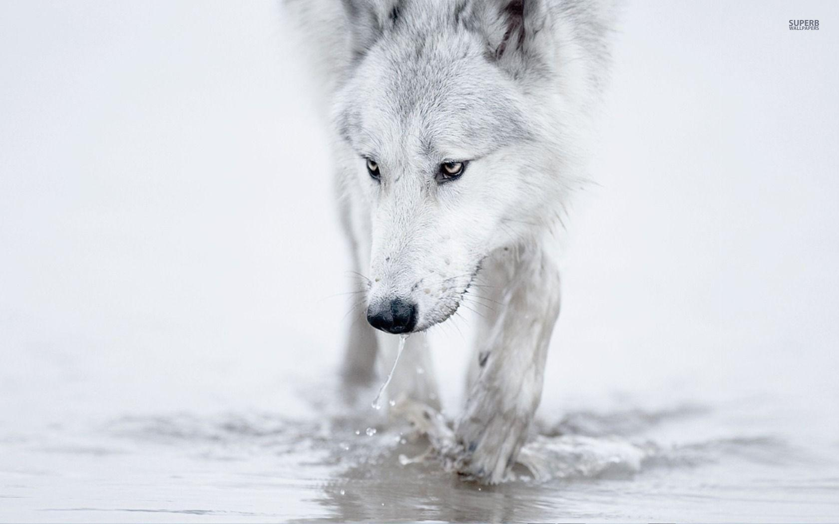 wolf wallpapers ndash animal - photo #27