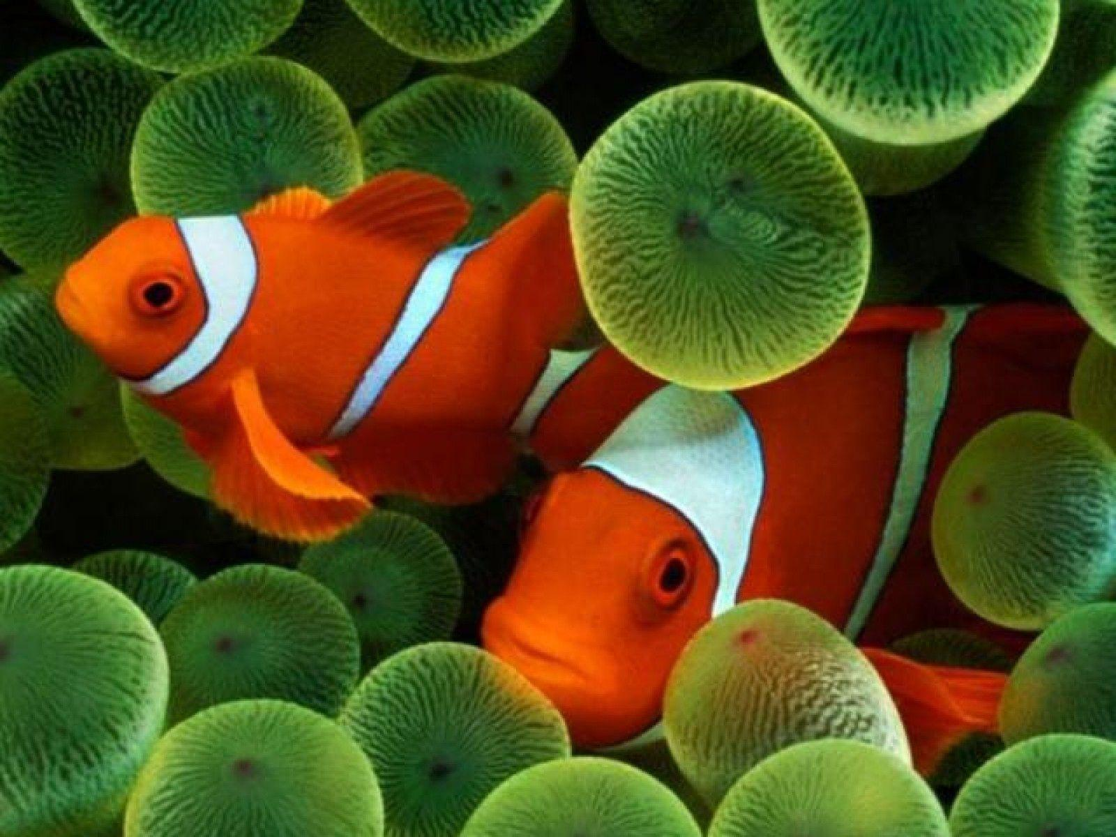 Green Clown Fish
