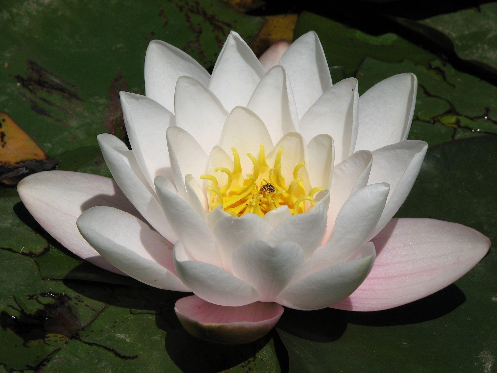 Lotus Flower Wallpapers Wallpaper Cave