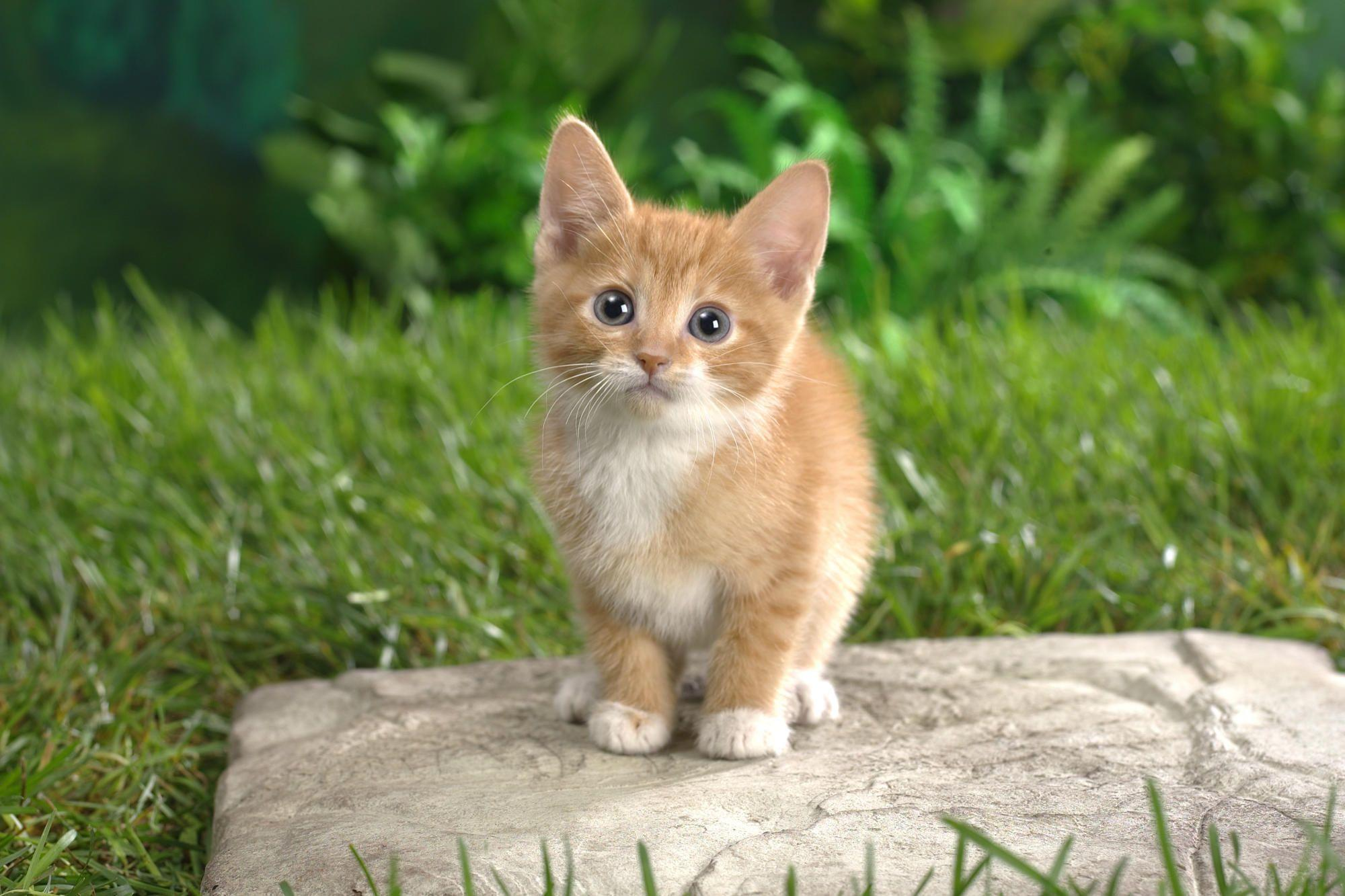 HD Cute Kitten Wallpapers