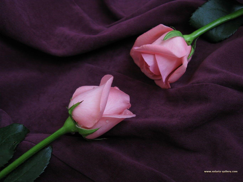 Free Rose Wallpaper | HD Wallpapers Pulse