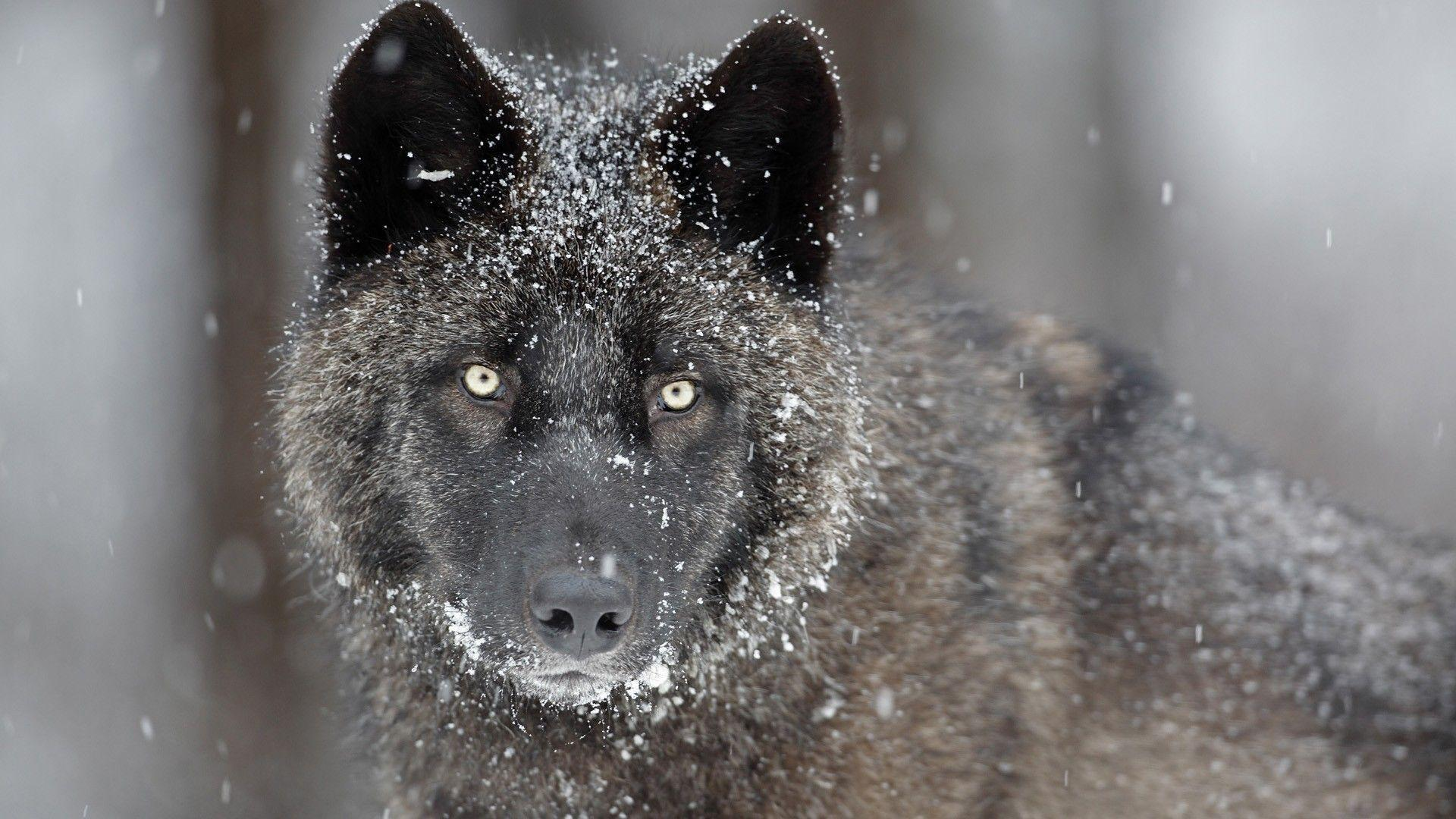 gray wolf  Size Habitat amp Facts  Britannicacom
