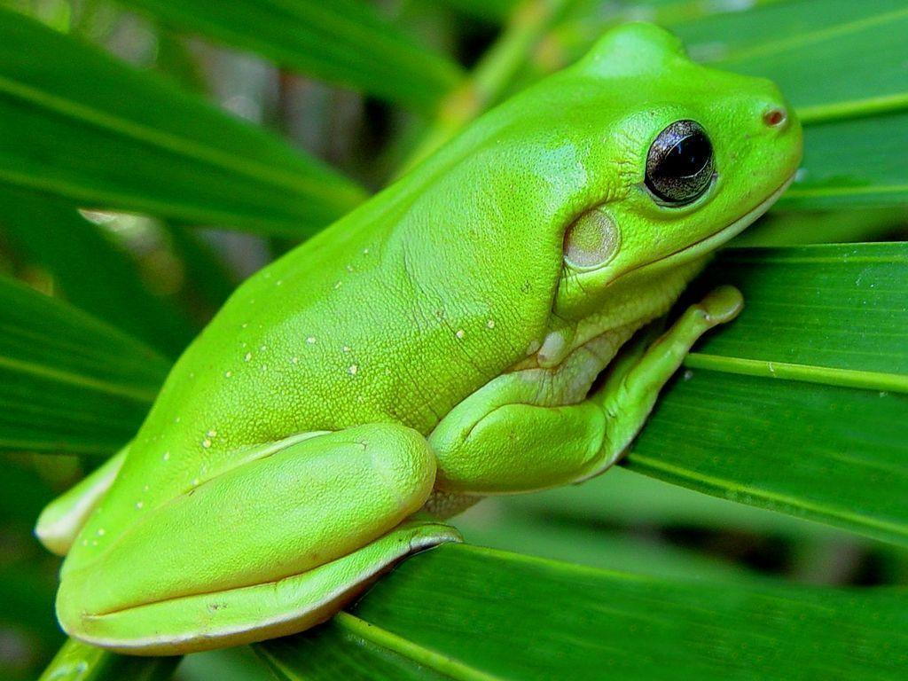 Tree Frog Wallpapers - Wallpaper Cave Green Tree Frogs Poisonous