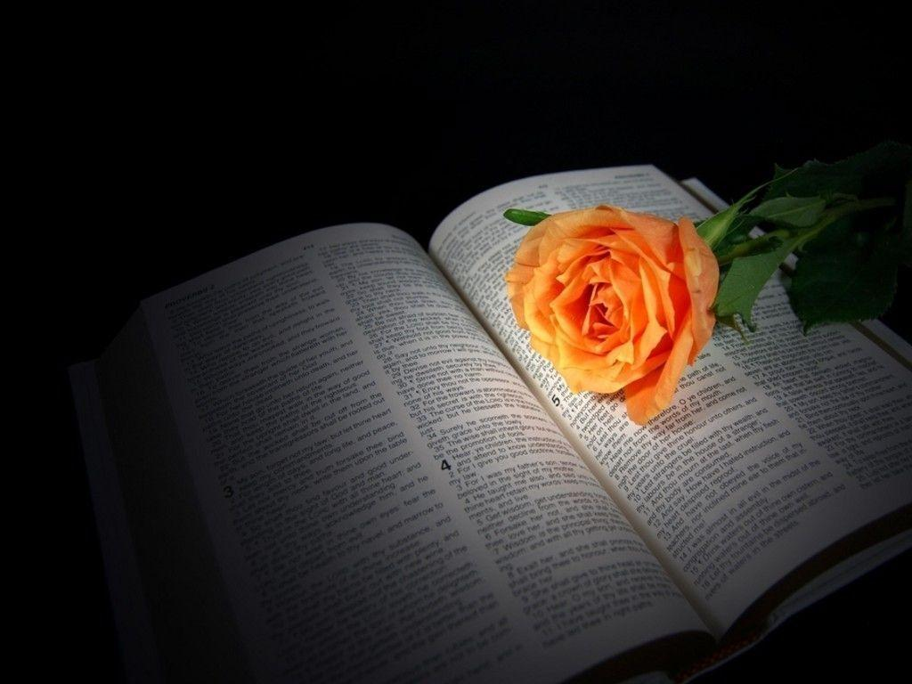 peach rose on Bible : Desktop and mobile wallpaper : Wallippo