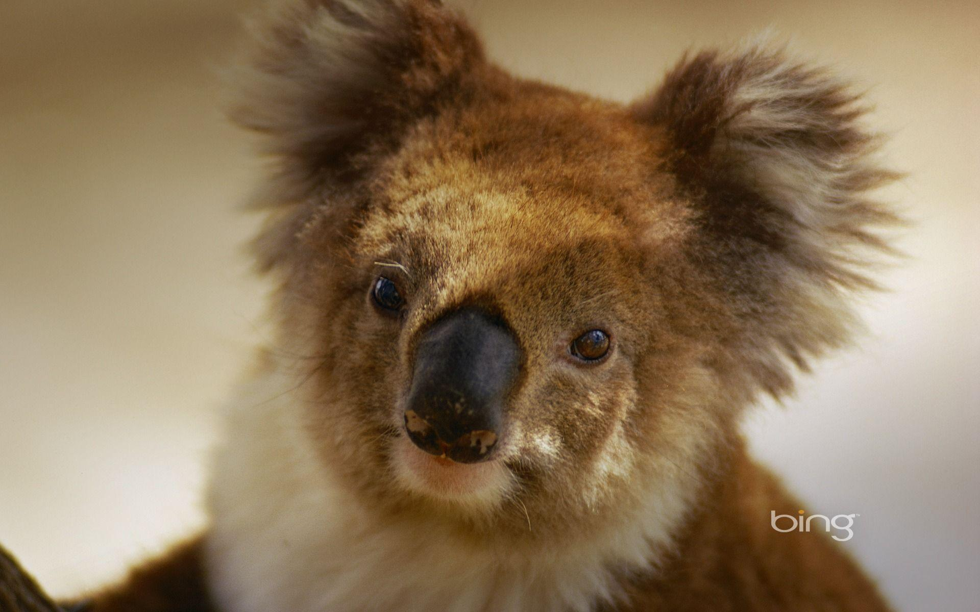 Australian national treasure naive koala wallpaper - 1920x1200 ...