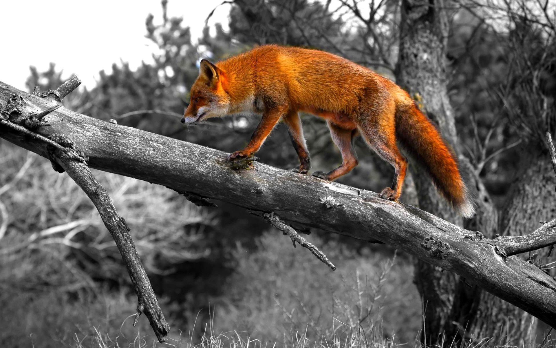 Red-fox-HD-Wallpaper-9 - Animals Planent.com