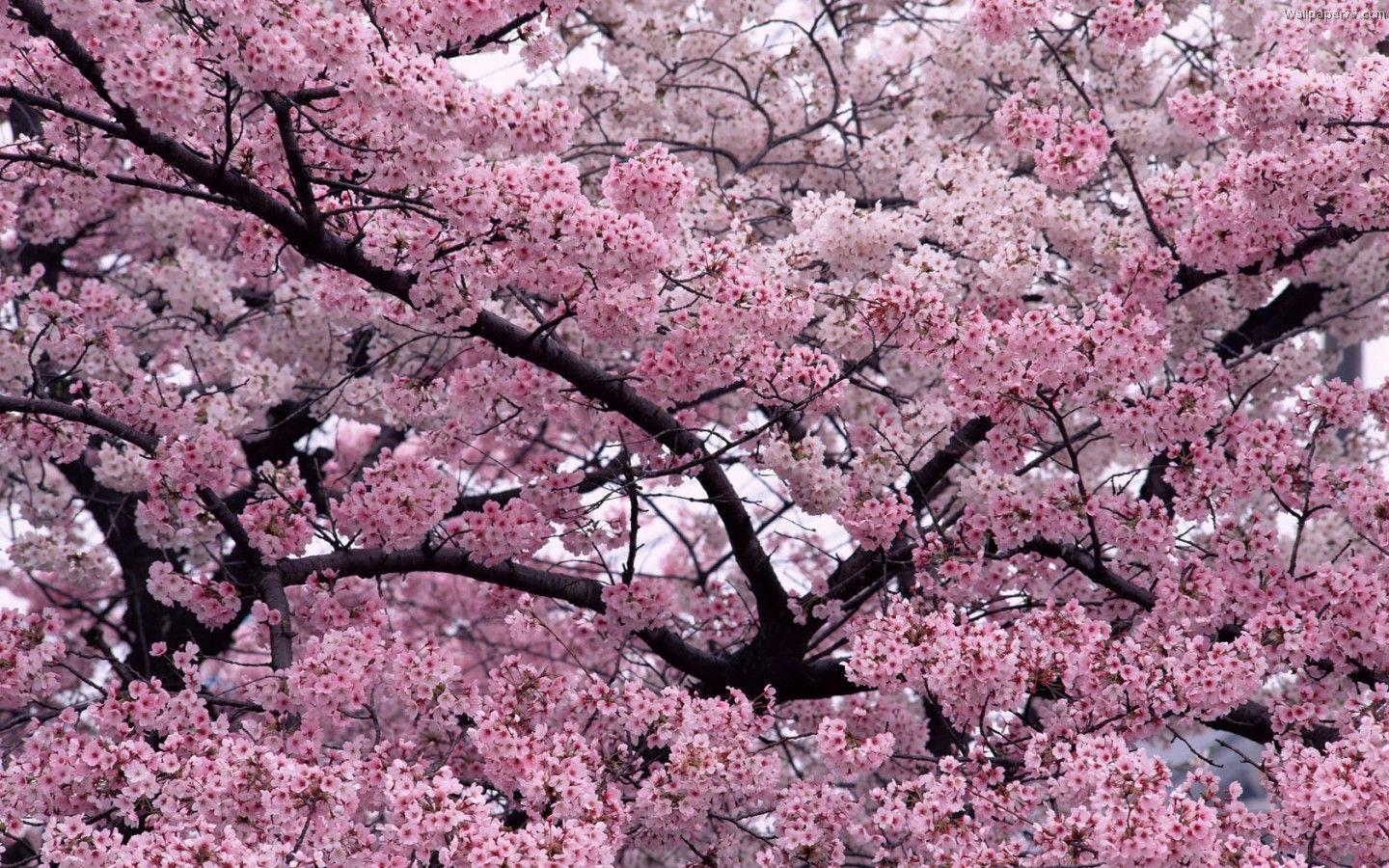 Pink Tree Wallpapers Wallpaper Cave
