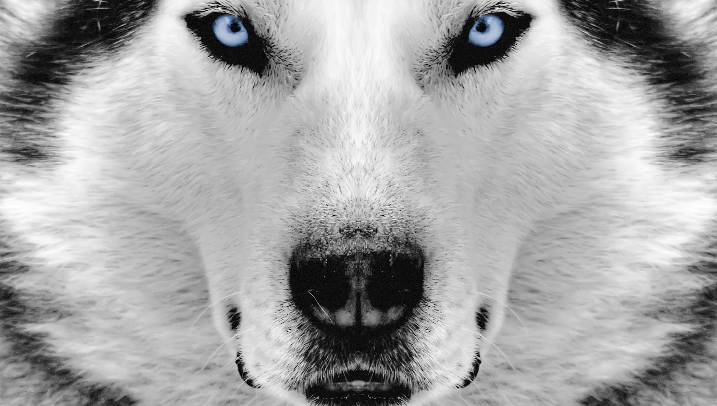 dress - Husky Siberian wallpaper pictures video