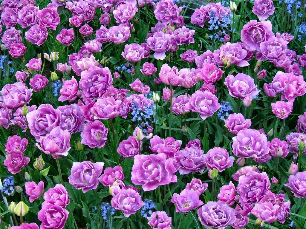 lavender flowers wallpapers 2560x1440 - photo #35
