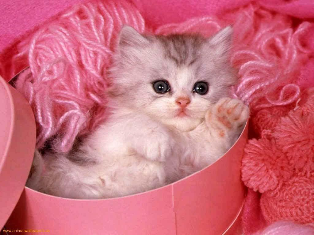 Download Kittens Wallpaper Cute Kitten Pink Background | Women Gallery