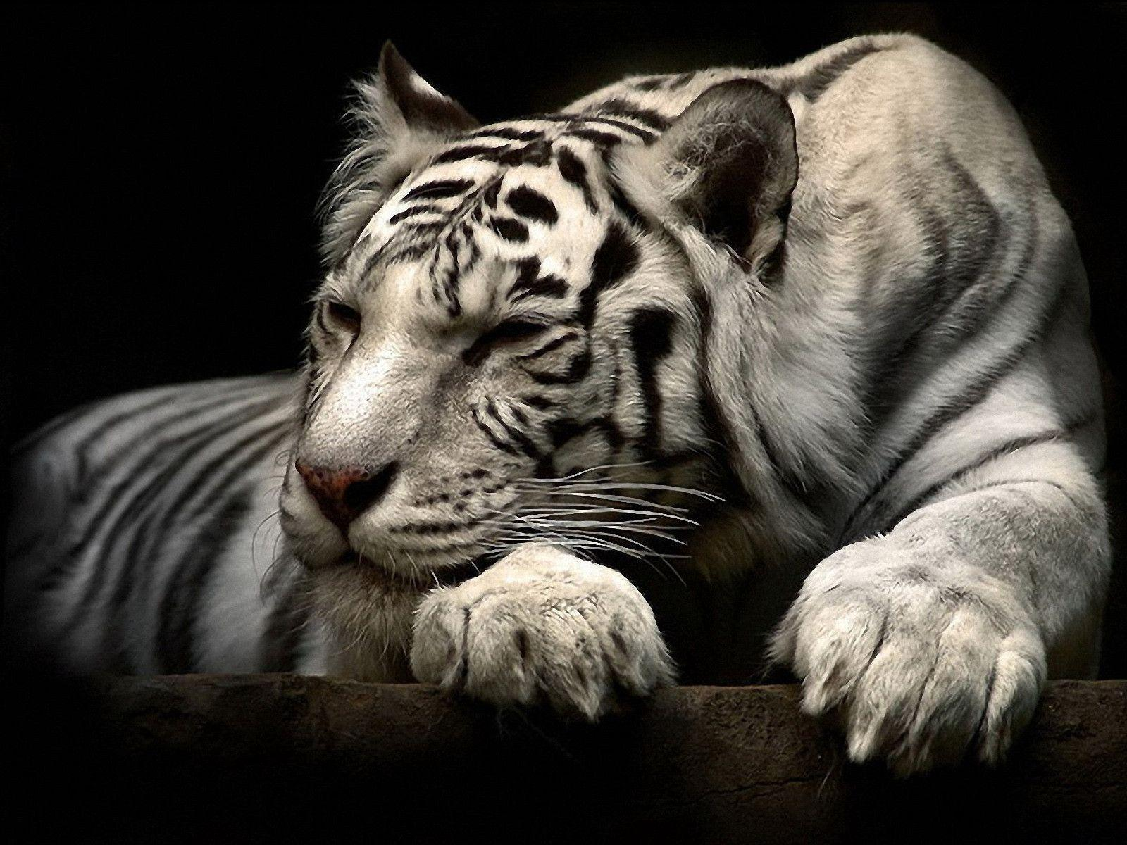 192 White Tiger Wallpapers