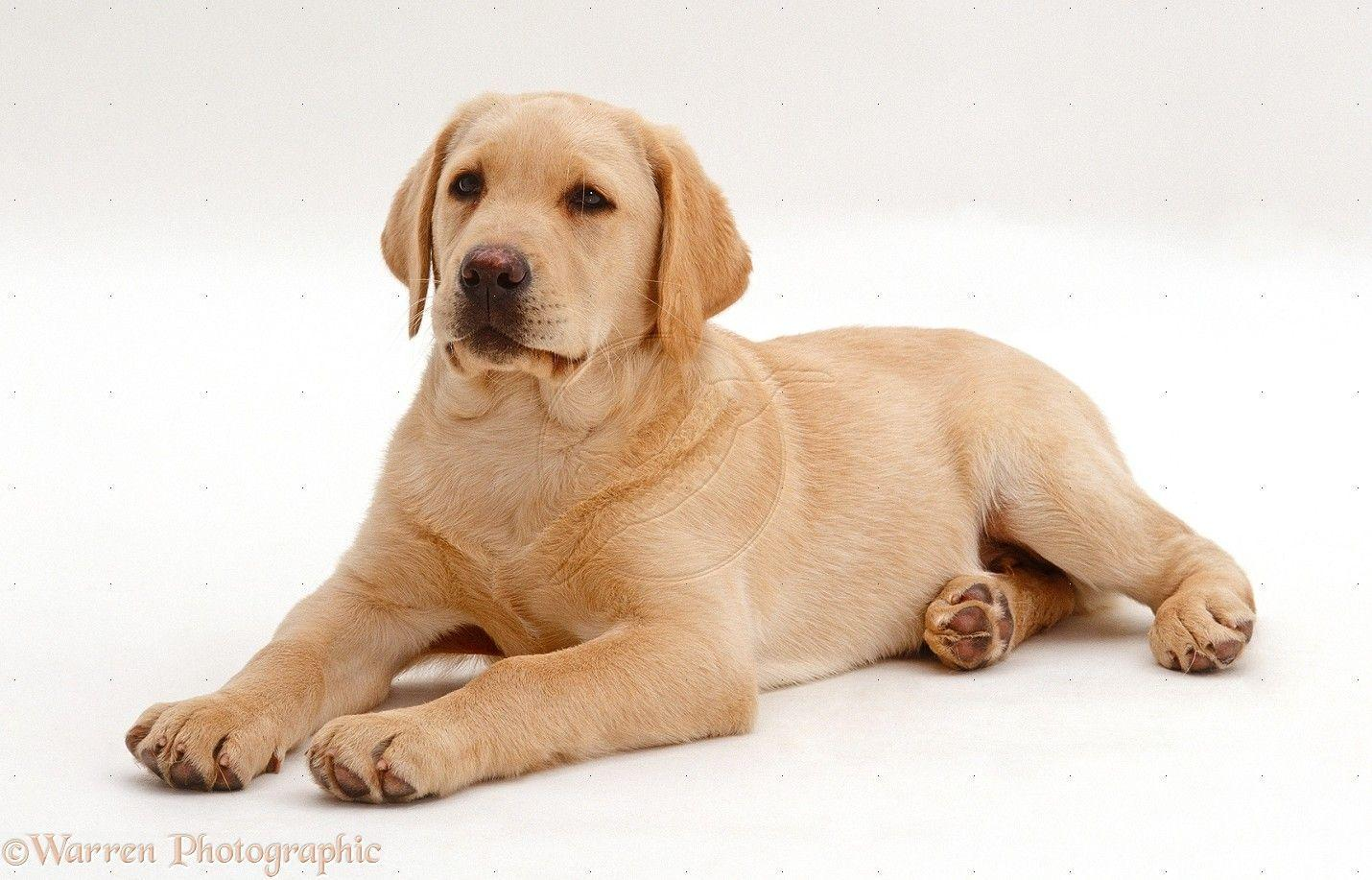yellow lab puppy wallpaper - photo #4