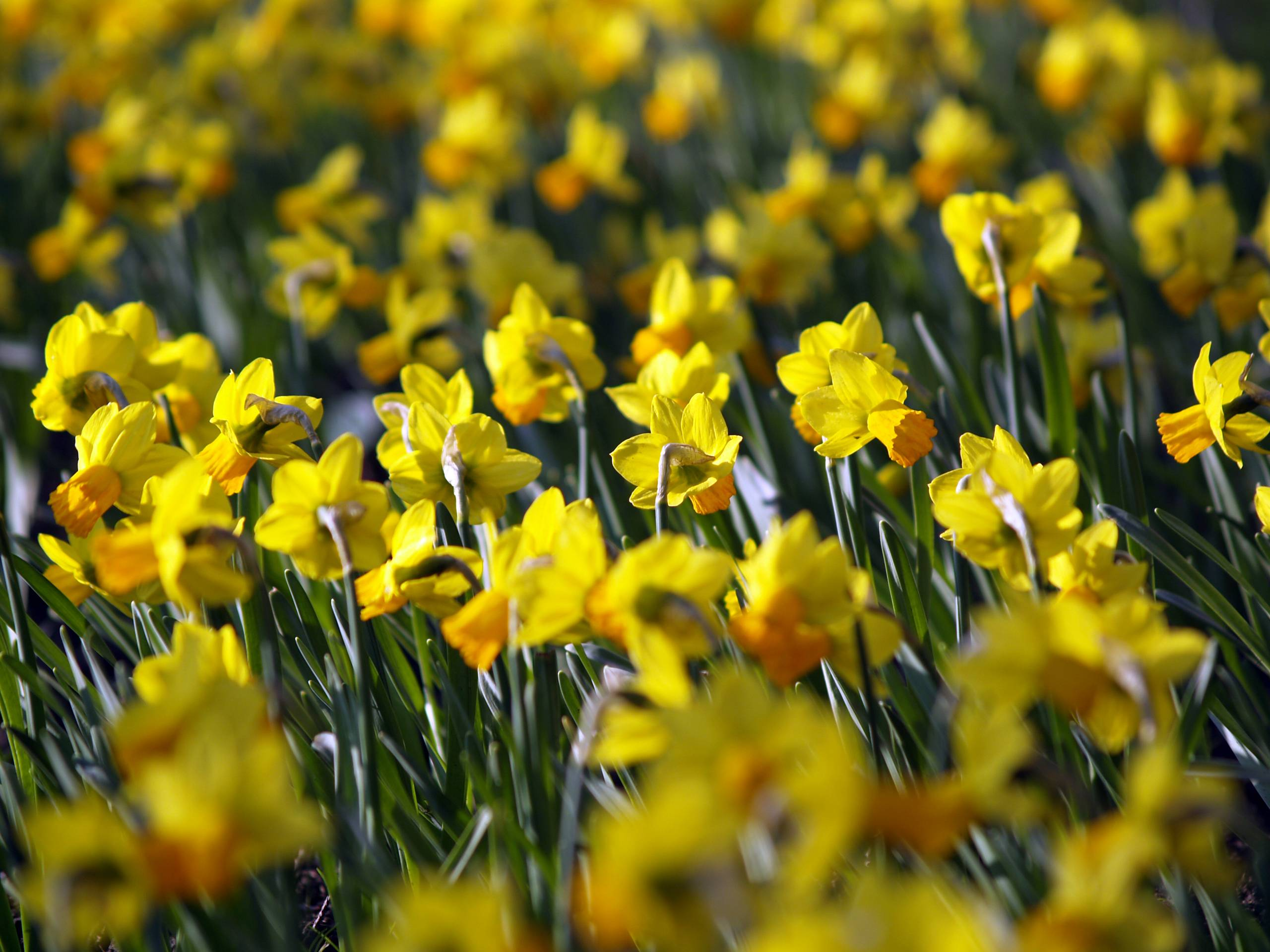 daffodil wallpapers