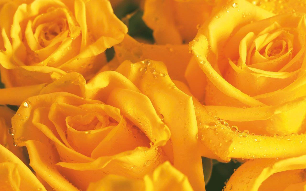 Yellow Rose Flower Wallpapers - Wallpaper Cave  Yellow Rose Flowers Wallpapers For Desktop