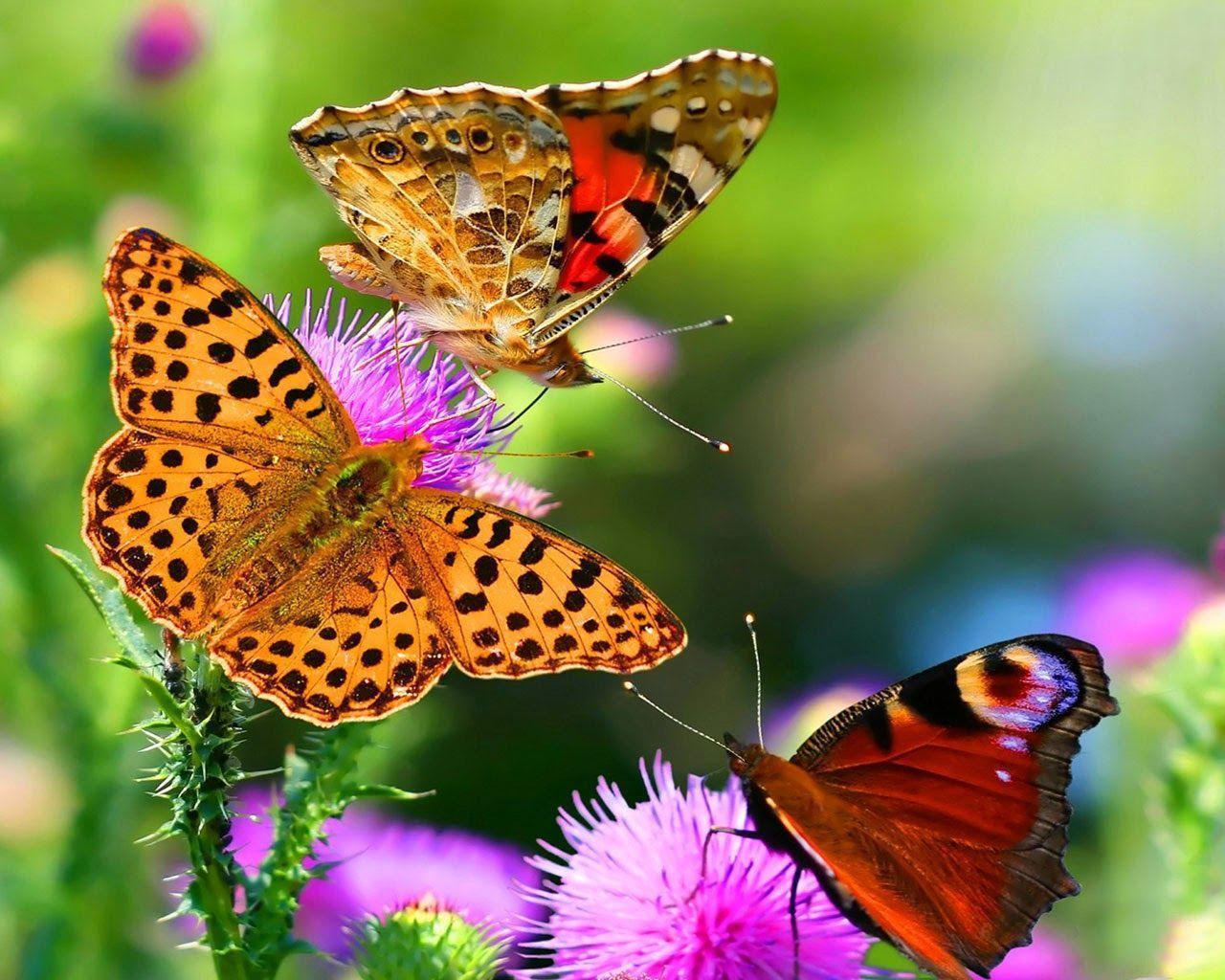 Full Screen Hd Butterfly Wallpapers Wallpaper Cave