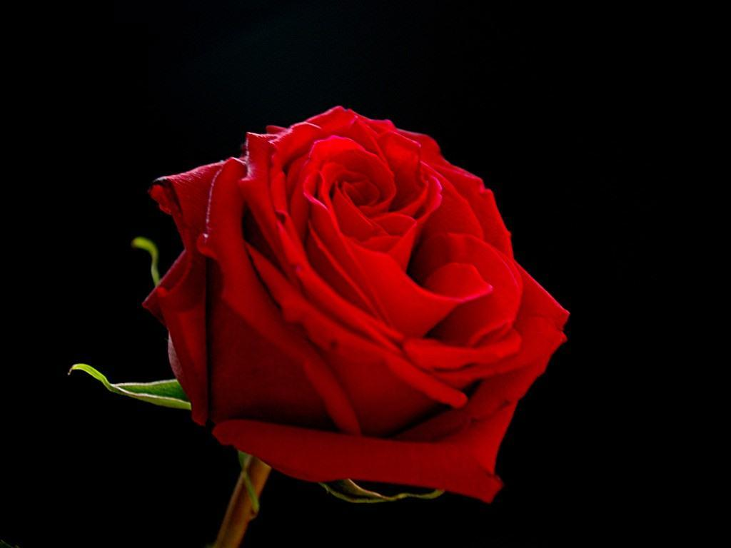 Black And Red Rose