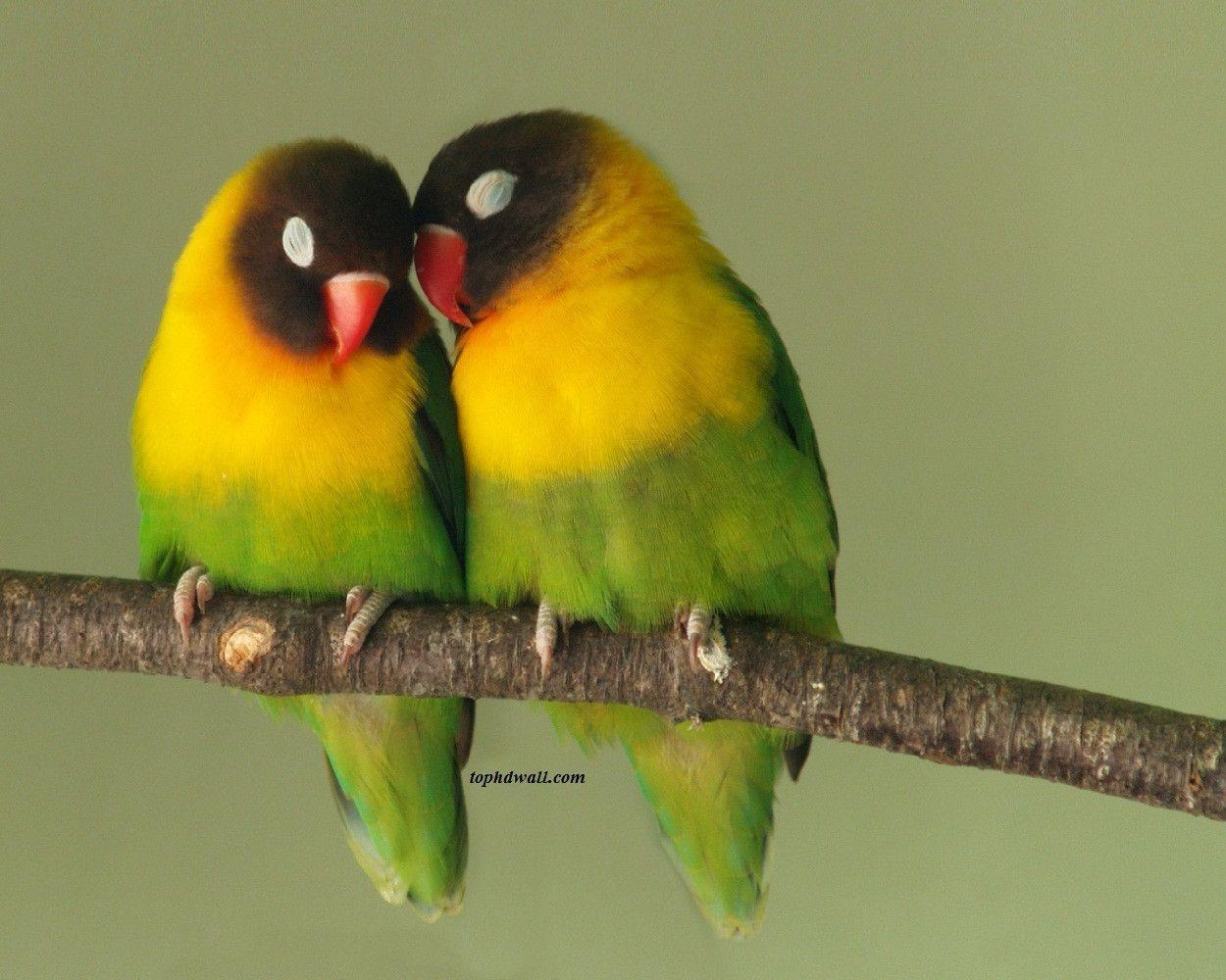 Love Birds Wallpaper Images : Wallpapers Of Love Birds - Wallpaper cave