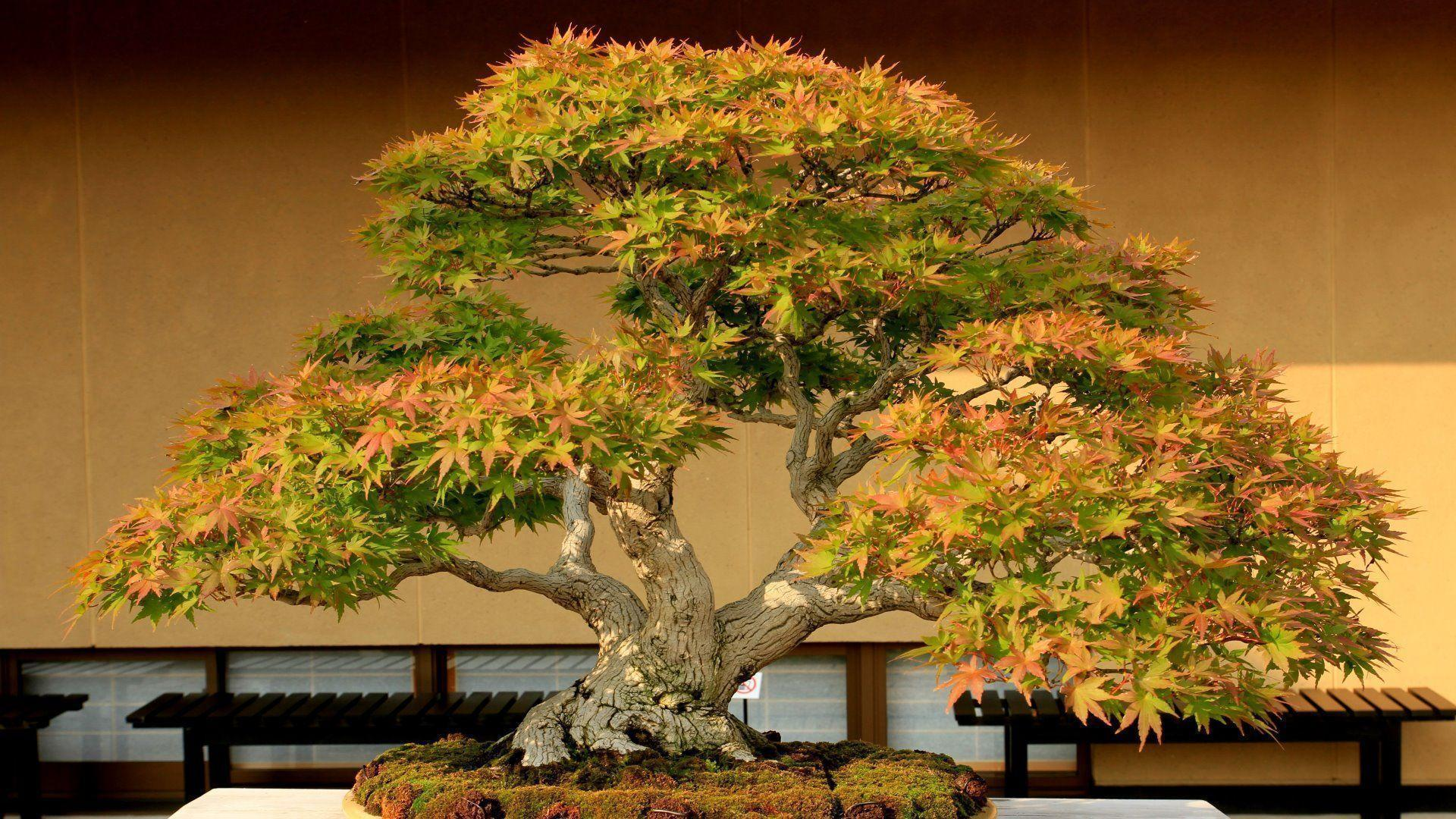 Bonsai Tree HD Wallpapers Photos Images