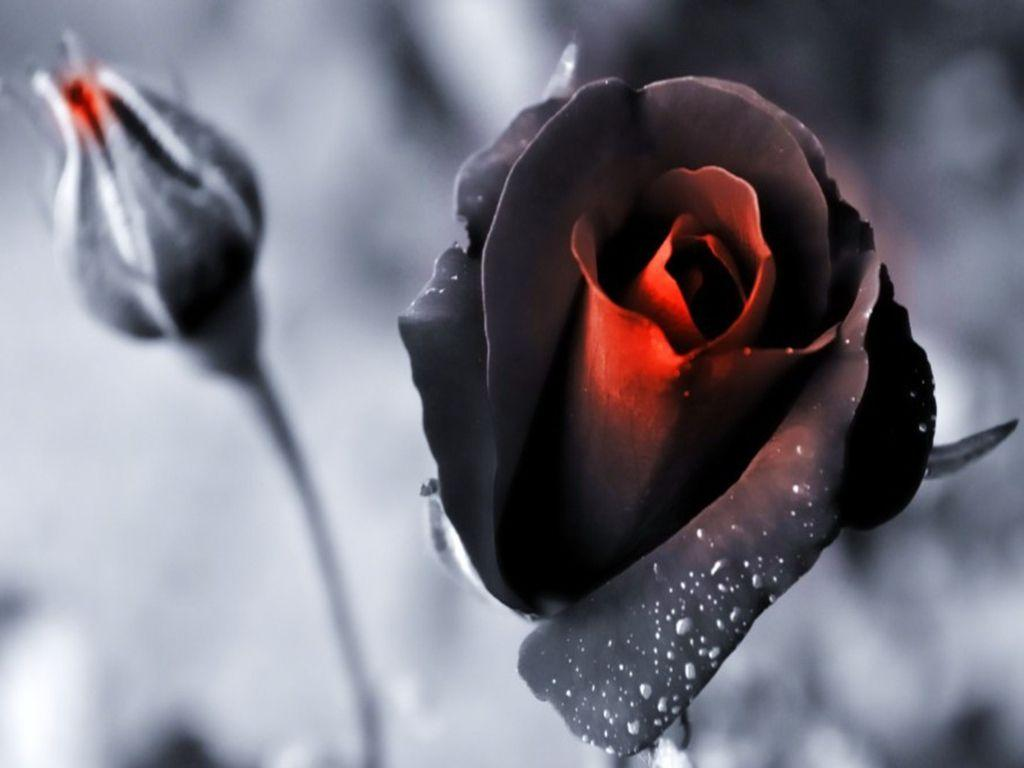Black Rose Wallpapers Wallpaper Cave