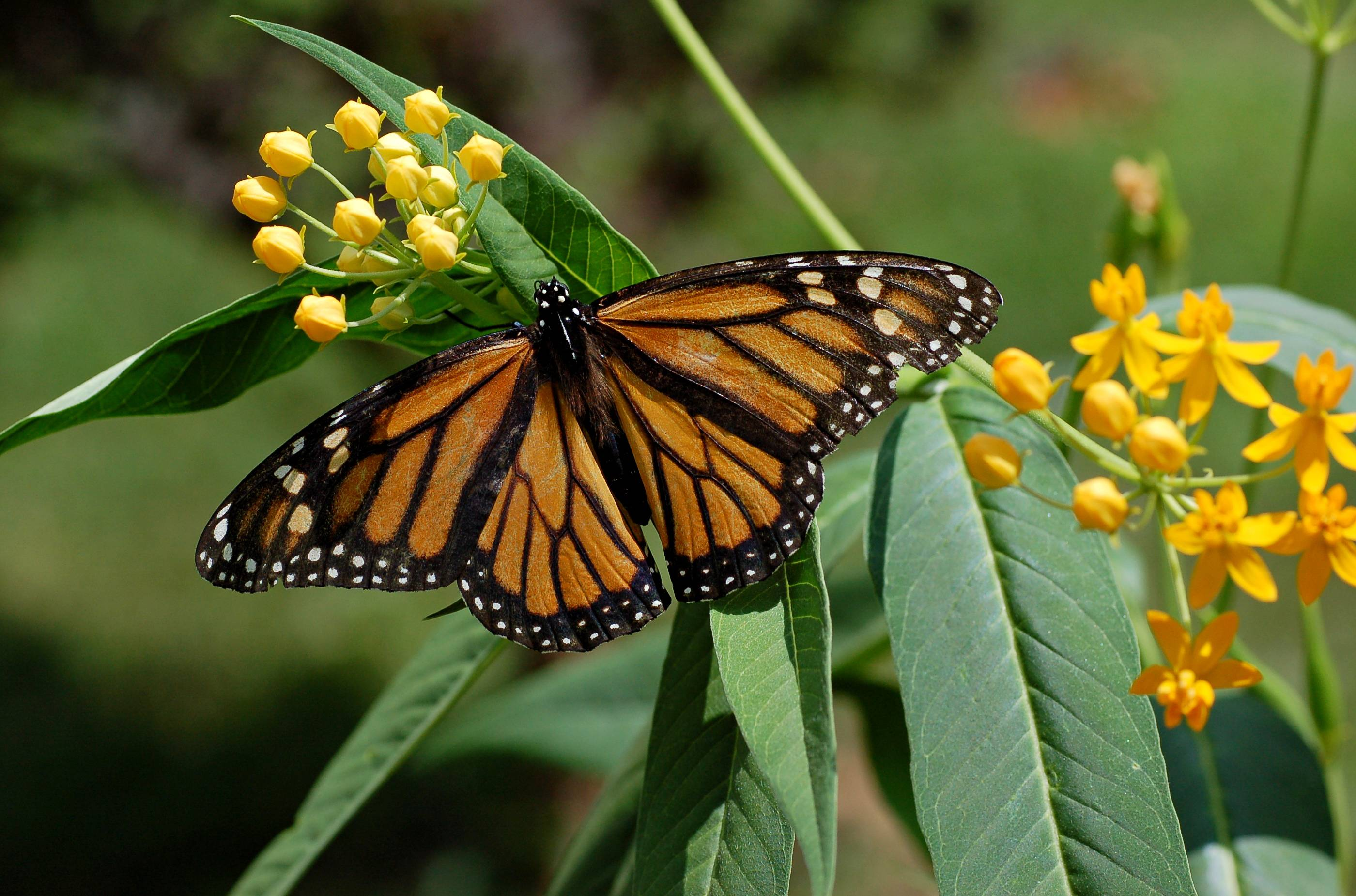 Monarch Butterfly Wallpapers Wallpaper Cave