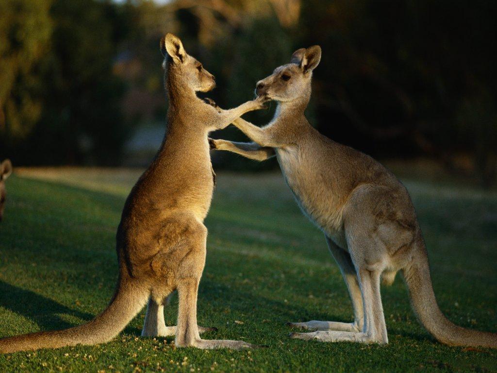 Amazing Animal Kangaroo Wallpaper Free Download