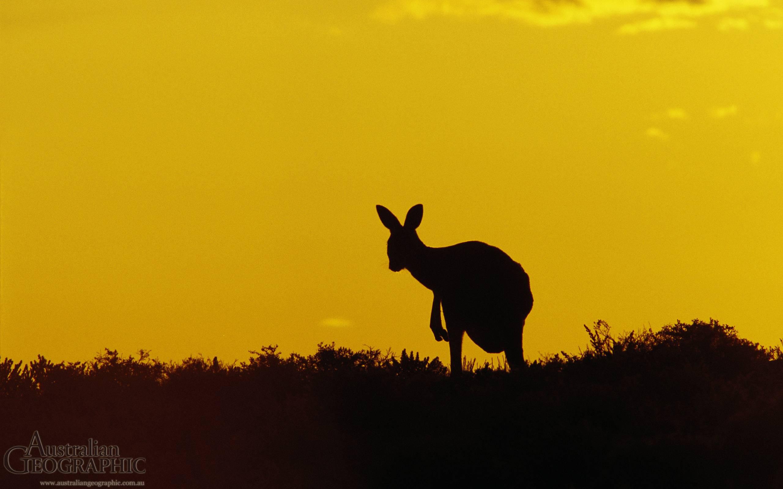 Kangaroo Sturt National Park New South Wales The (id: 186347 ...