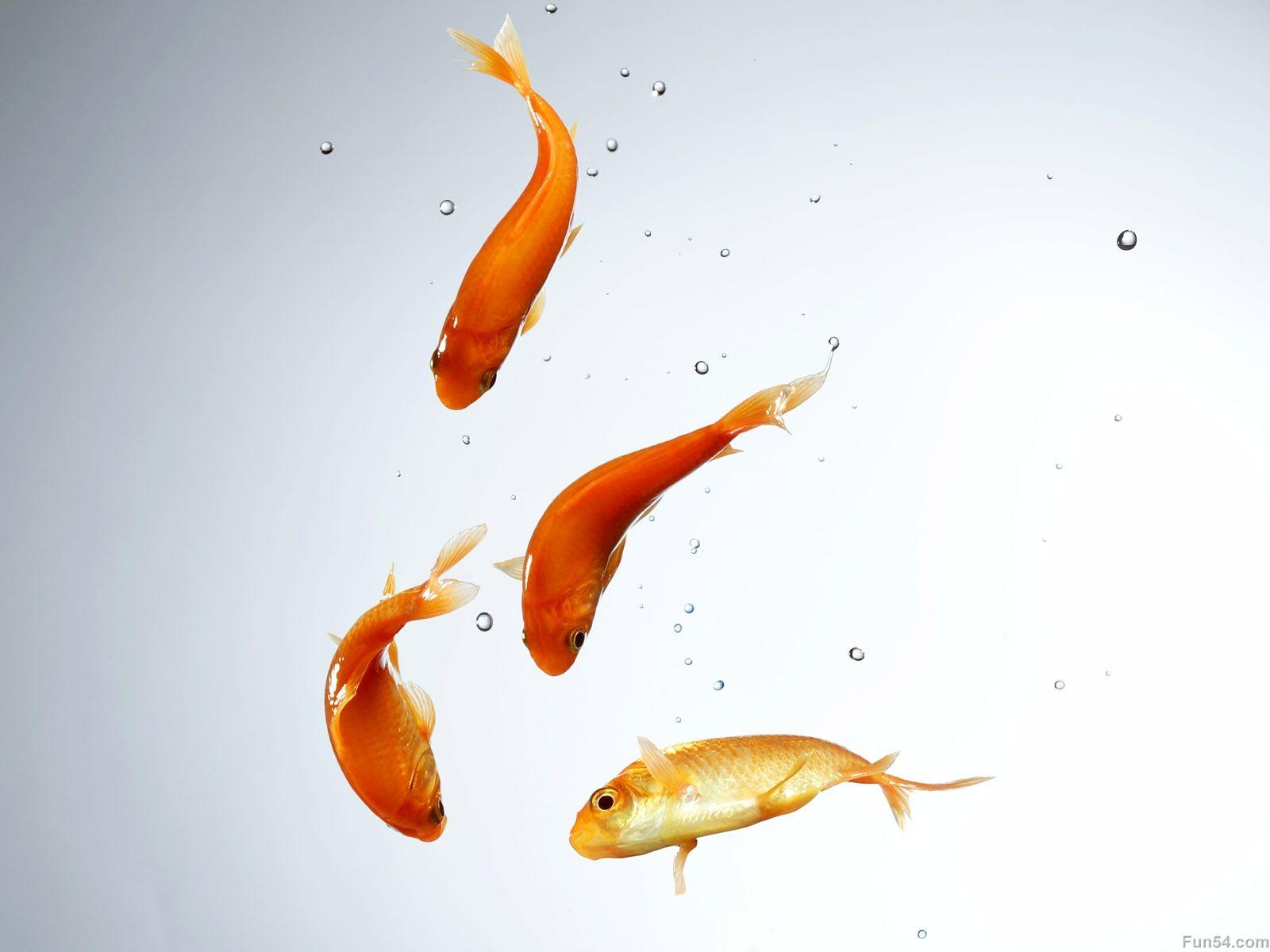 Four red and yellow fishs in the water with white backgrounds hd