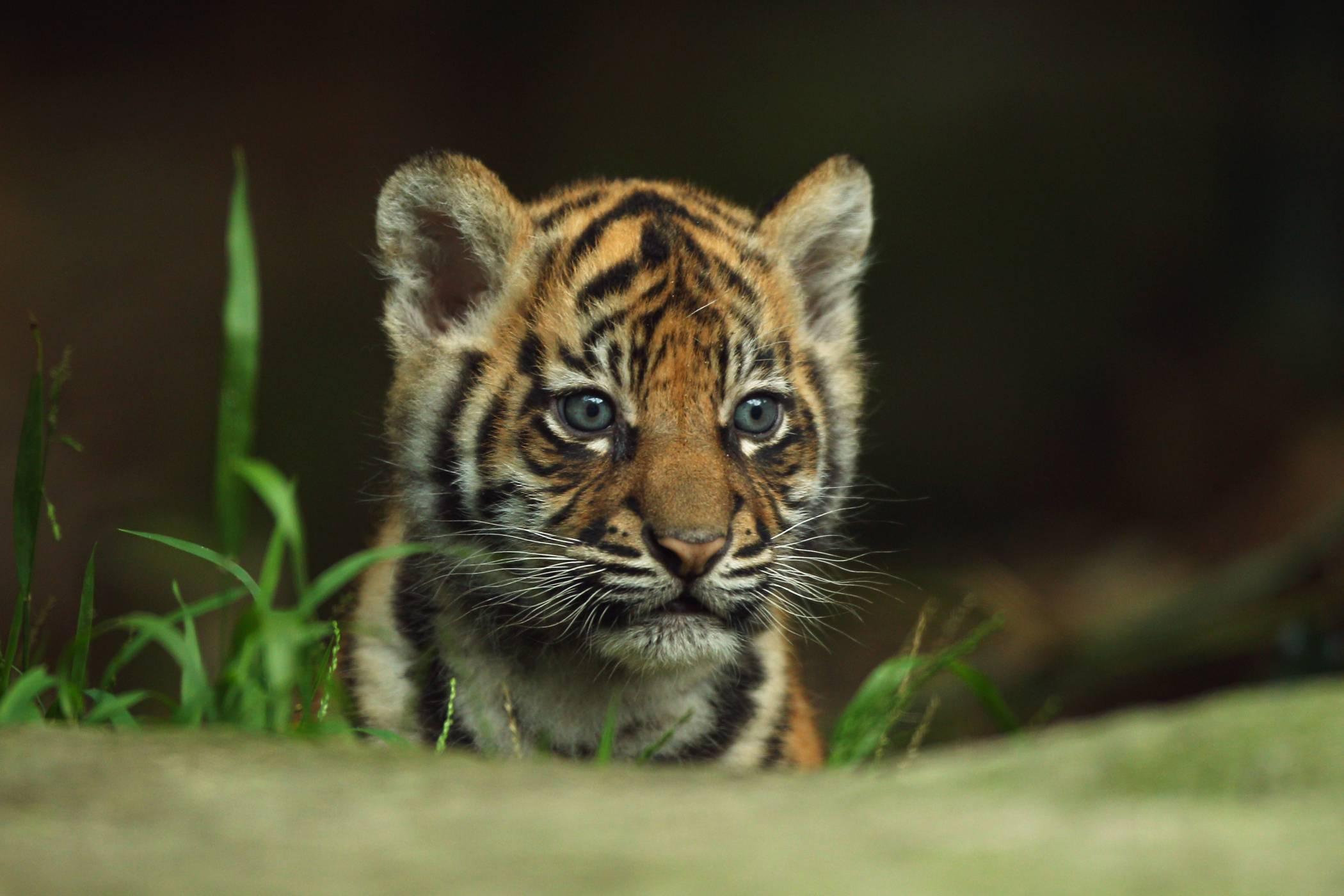 Wallpaper Hd Tiger Baby Images 3 Wallpapers Hdwalljoy