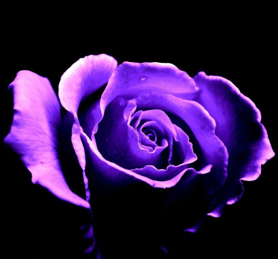 Purple Roses Background Images: Purple Rose Backgrounds