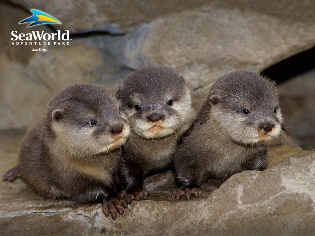 Baby Otter Wallpaper