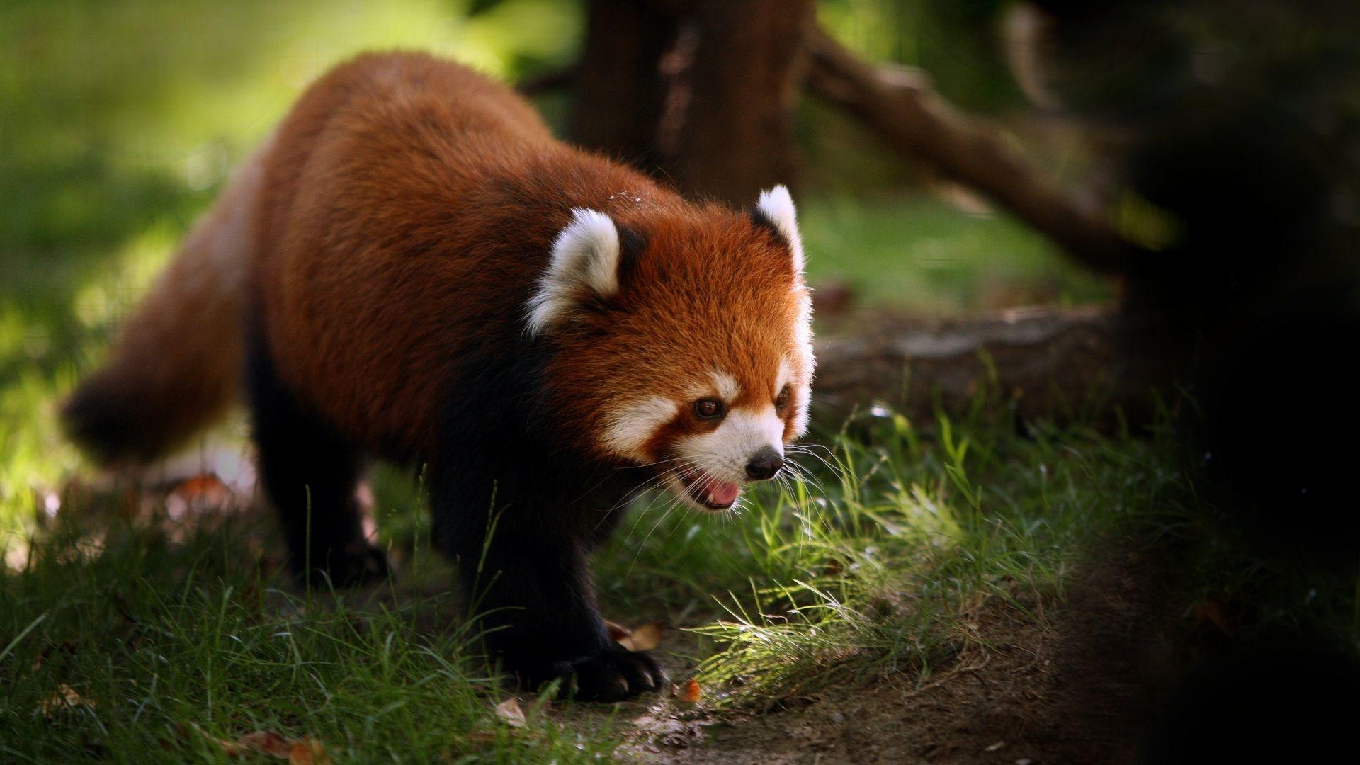 Daily Wallpaper: Red Panda | I Like To Waste My Time