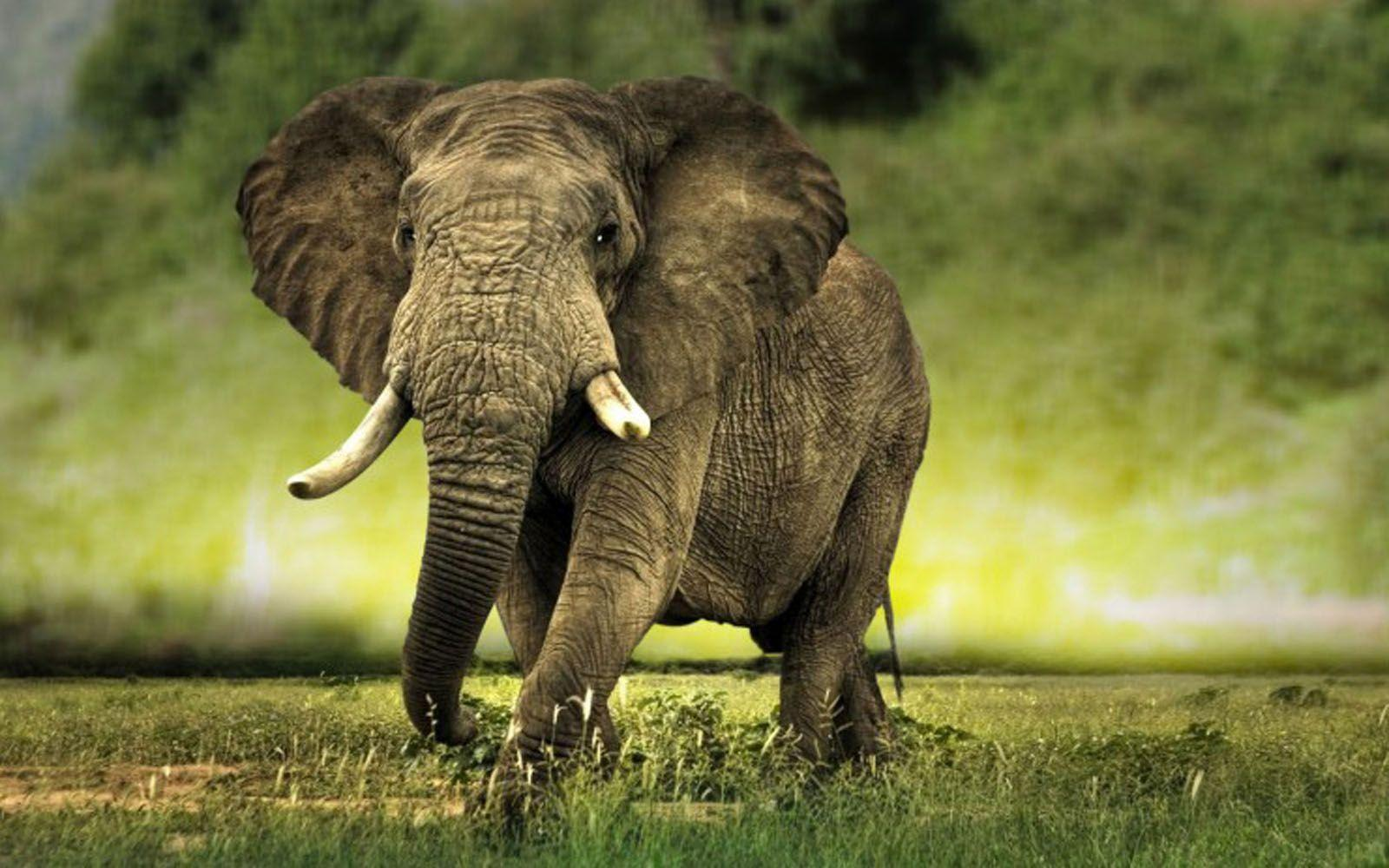 Great Elephant Census