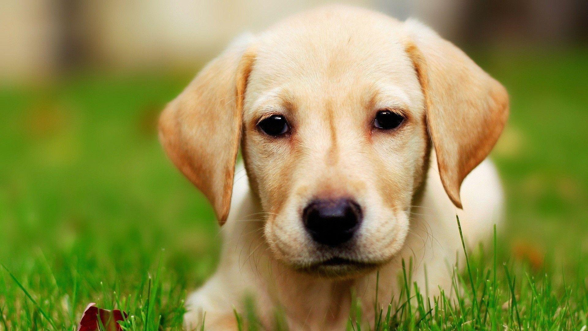 Dog Labrador wallpaper - 981891
