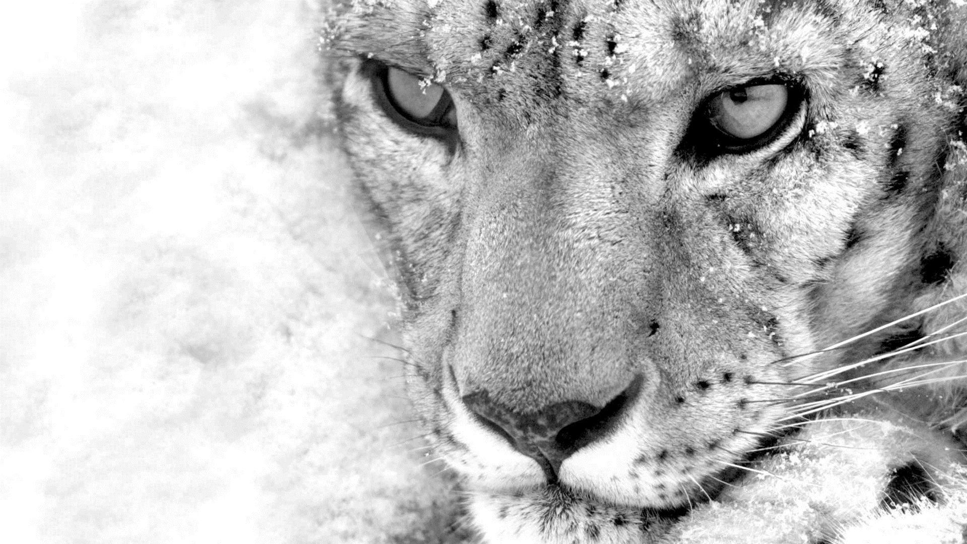 white cheetah wallpaper hd - photo #32